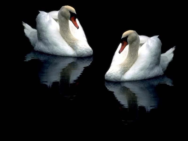 Подборка фото - Верные лебеди