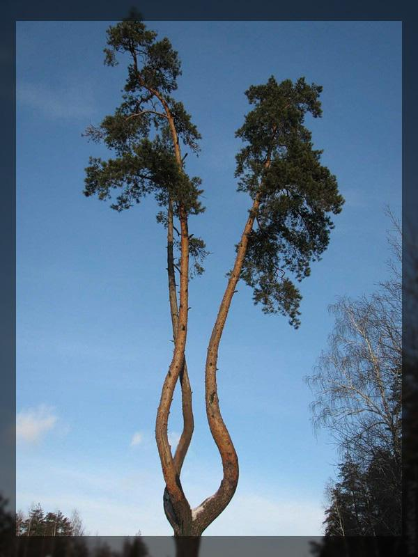 Долгожители планеты - деревья гиганты (74 фото)
