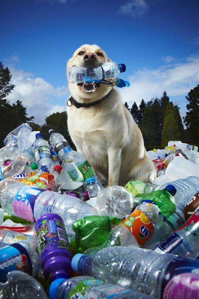 Лабрадор по кличке Табби Сандры Гилмор из Великобритании за последние шесть лет помог сдать в переработку около 26 000 пластиковых бутылок. Пес собирает бутылки во время ежедневных прогулок, сминая и отдавая их хозяйке. (Paul Michael Hughes / Guinness World Records)
