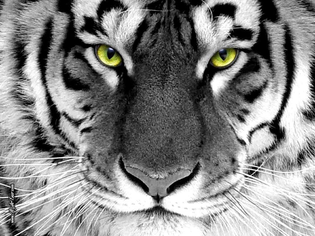 Фото, белый тигр (28-12-2009)